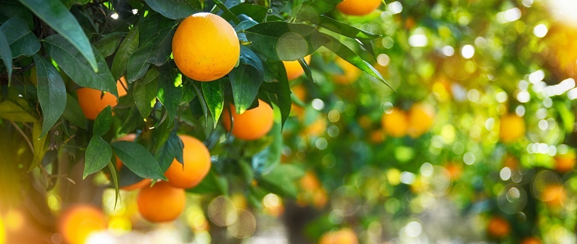 New Disease Threatens Citrus Trees in Oman