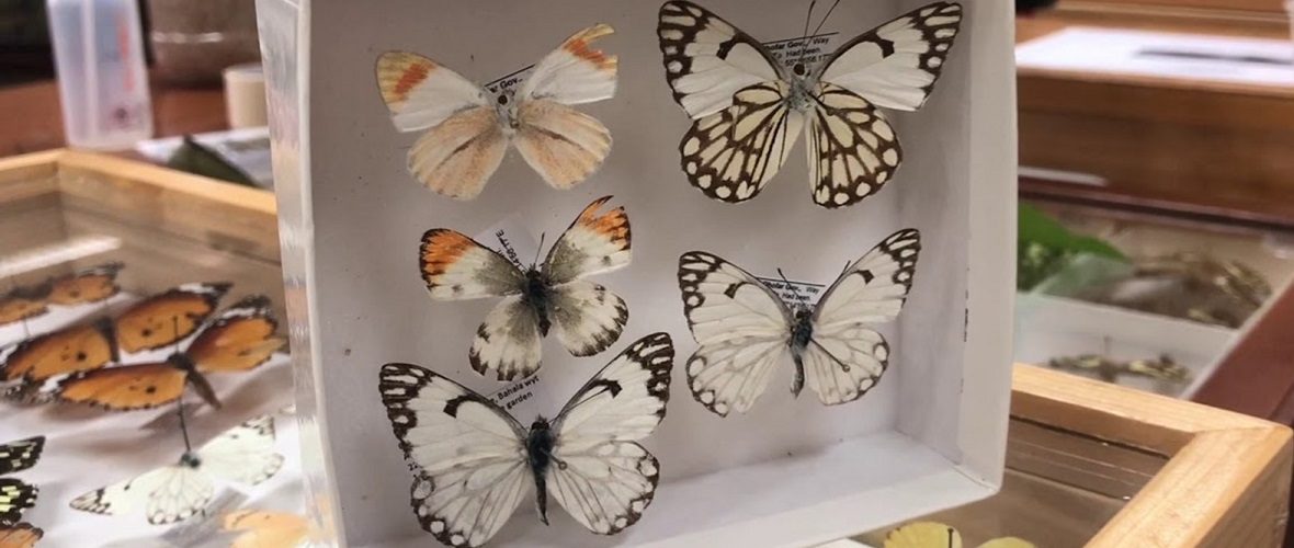 500 types of Omani butterflies